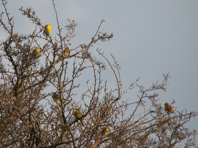Yellowhammer flock
