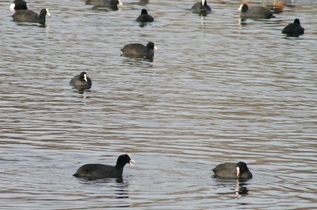 Coots at Denton Reservoir