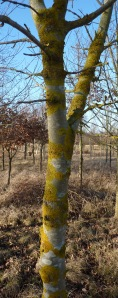 Lichens on ash tree
