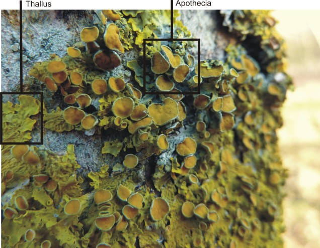 Xanthoria parietina on ash