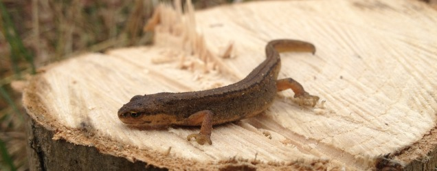 Juvenile smooth newt