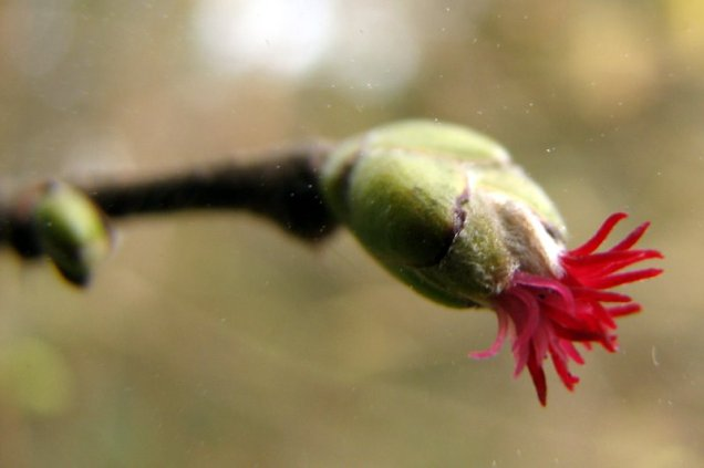 Hazel (Corylus avellana) female flower
