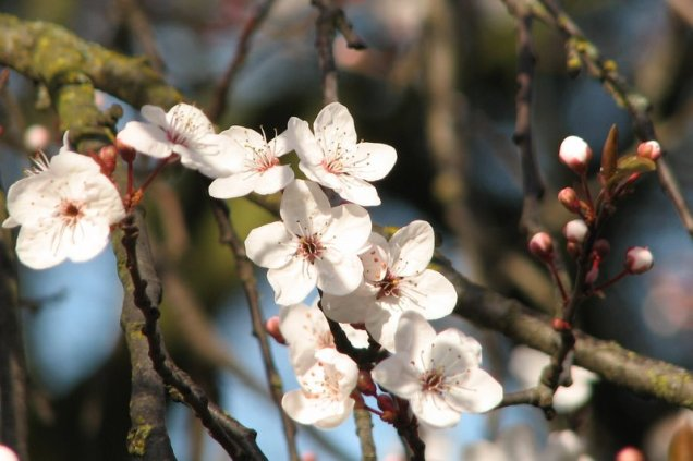 Cherry (Prunus spp.) blossom