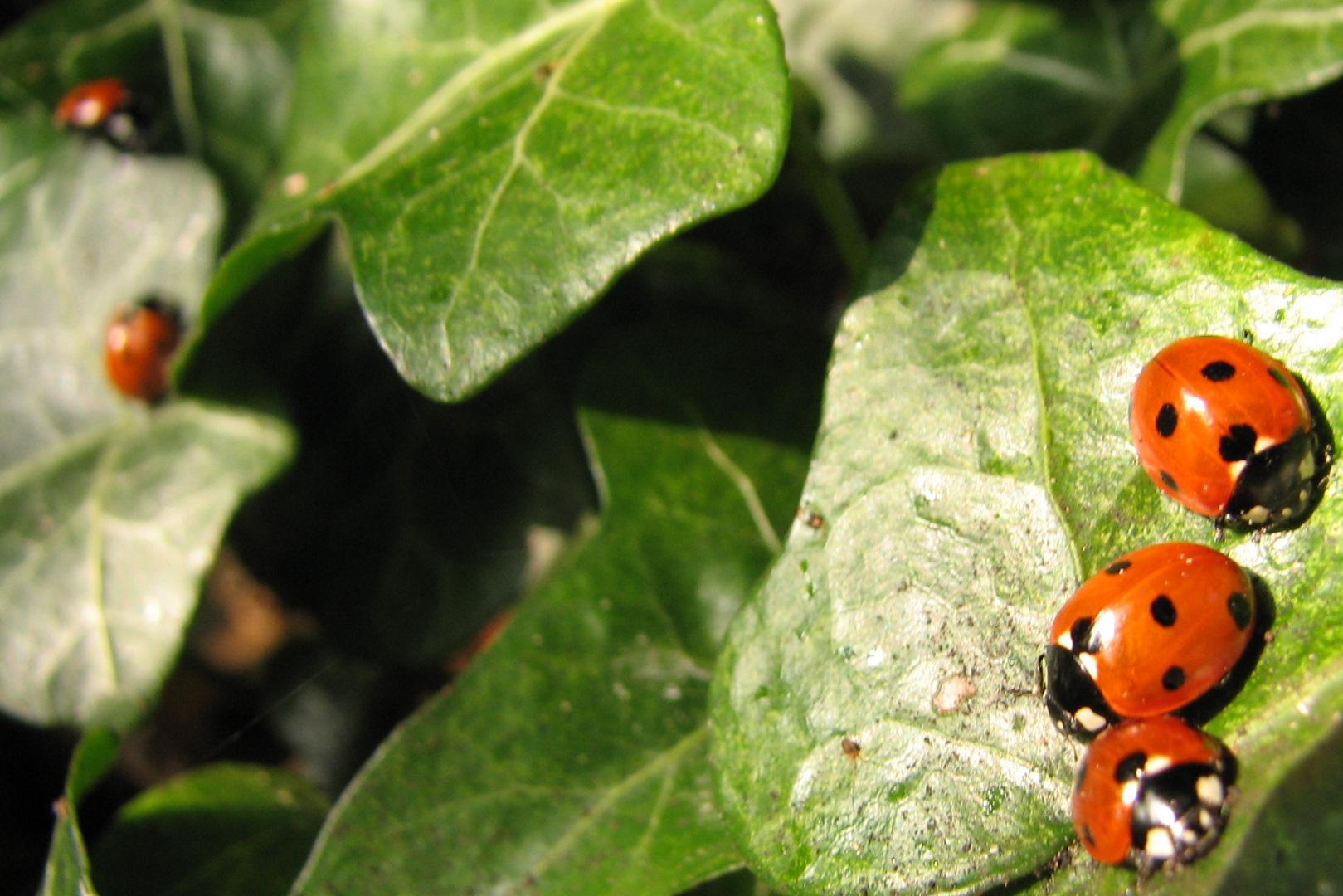 ladybirds - photo #29