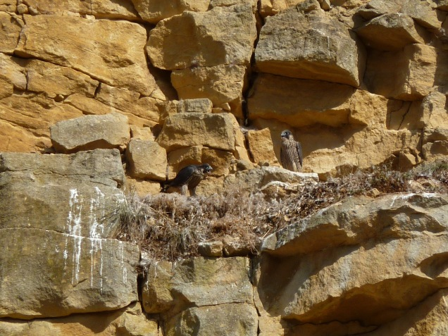 Peregrine falcon young at a quarry nest site