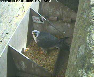 Peregrine falcon on the nest at St Wulfrum's on Tuesday lunchtime
