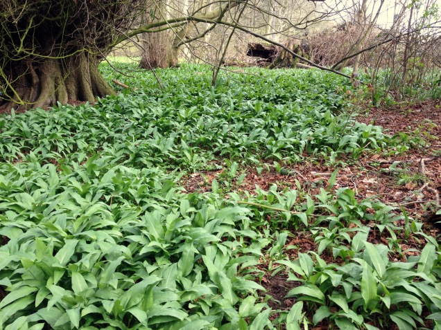 Wild Garlic in Belvoir Woods