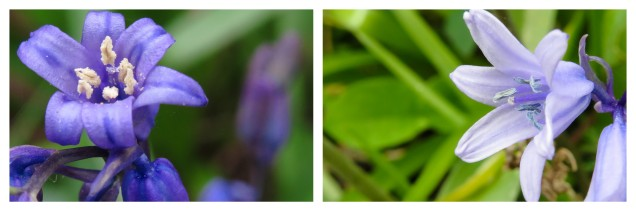 Bluebells and Newts2.jpg