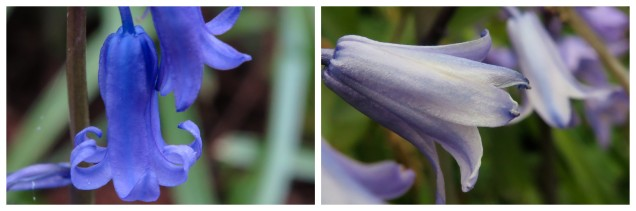 Bluebells and Newts3.jpg