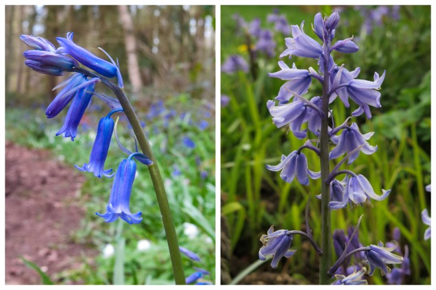 Bluebells and Newts4.jpg