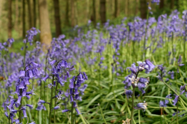 English bluebells in Belvoir Woods