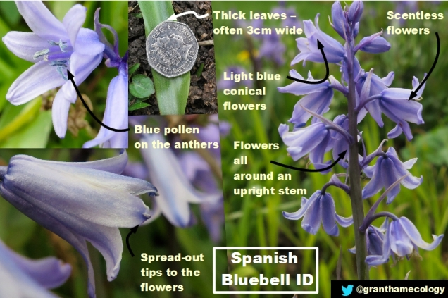 spanish-bluebell-id_26570026296_o.jpg