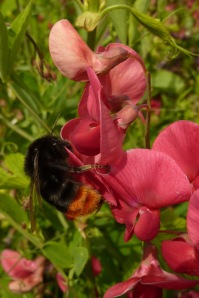 Red-tailed bumblebee on sweetpea at Easton Walled Gardens