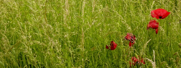 Poppies in the meadows at Easton Walled Gardens