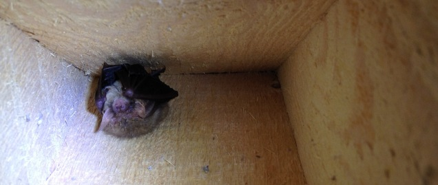 Hibernating brown long-eared bat in a bat box