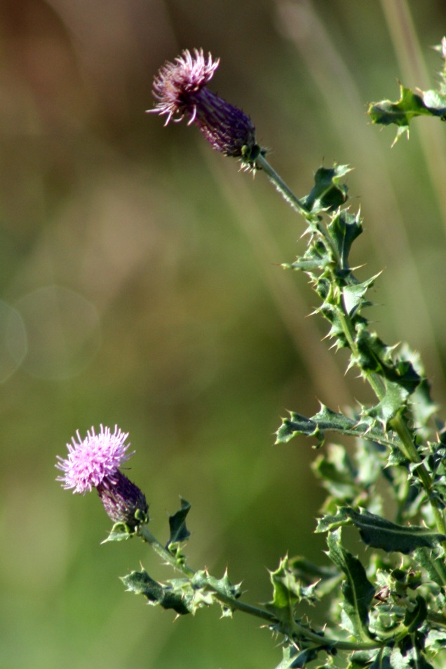 Creeping thistle (Cirsium vulgare)