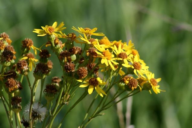Ragwort (Senecio vulgaris)