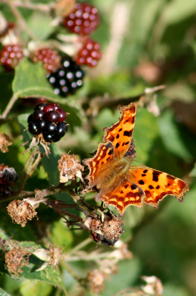 Comma butterfly on blackberries