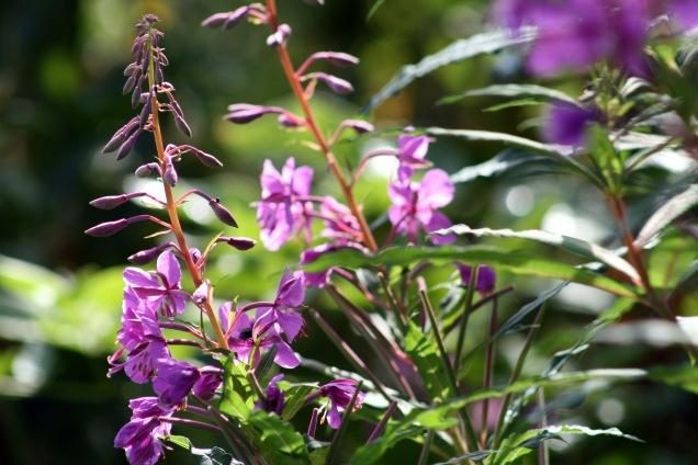 Rosebay willowherb (Epilobium angustifolium)