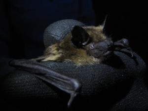 Serotine bat in the hand