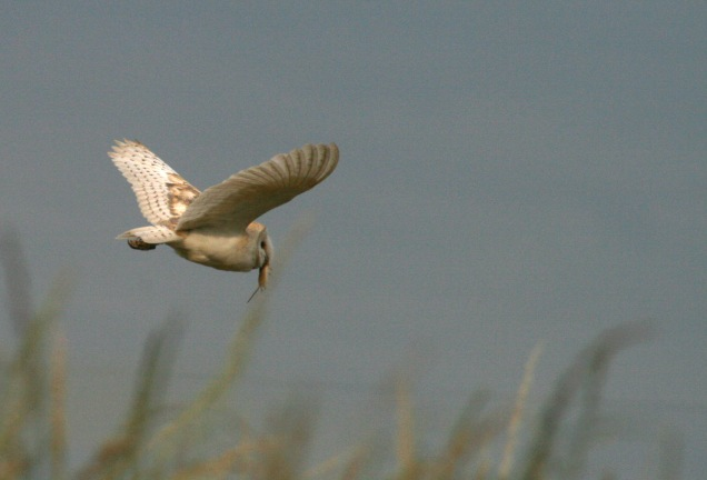 Barn Owl (Tyto alba) after a successful hunt