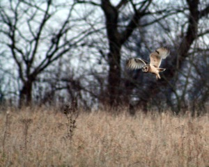 Short-eared owl (Asio flammeus) hunting