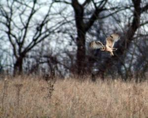 Short-eared owl (Asio flammeus) hunting