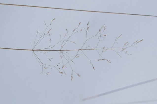 Common bent – Agrostis capillaris panicle