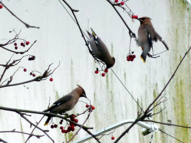 Waxwings (photograph taken in Cappers Lane, Lichfield)