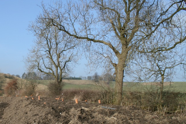 Ash trees within a hedgerow