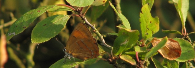 The brown hairstreak is a butterfly which uses ash trees as 'master trees' where the males and females gather to mate before the females descend down lower to lay their eggs on the larval foodplant, blackthorn. They are one of the species which might be impacted if chalara has a serious detrimental impact on the UK ash population.