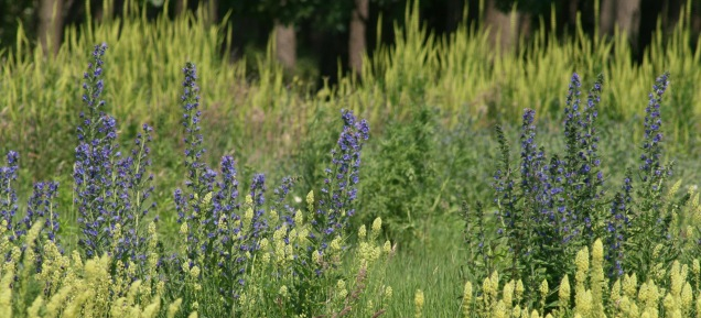 The impressive floral abundance of viper's bugloss - well suited to sandy soils
