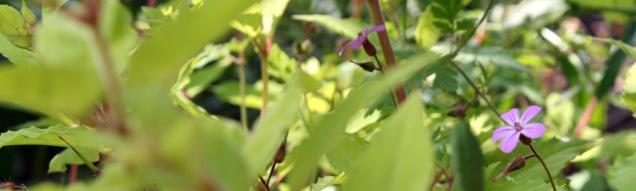 Unobtrusive herb-Robert flowers brightening up the foliage of a fuschia