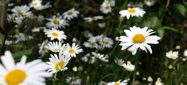 Oxeye Daisy - an exuberant beautiful species which provides a nectar source for a range of species, a particular favourite of hoverflies