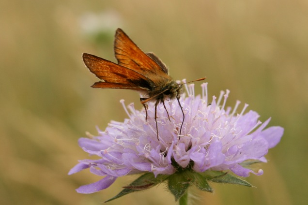 Small skipper on scabious