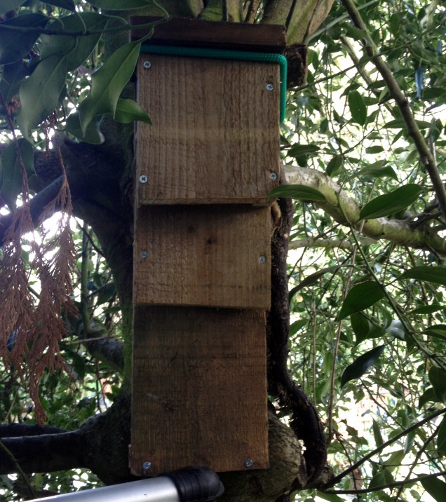 The new bat box securely attached using a bungee cord to ensure that the fixing does not damage the tree as it grows. The box is about 4m off the ground with a clear fly-in below, opening onto further shrubs and cover for the bats.