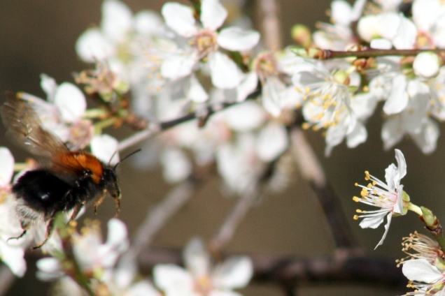Tree bumblebee Bombus hypnorum on Blackthorn Prunus spinosa