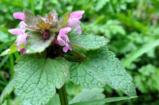 Red deadnettle - Lamium purpureum is one of the early flowering deadnettle species. They are named for their visual similarity to nettles but, as the 'dead' suggests, they are not able to sting like the true nettle. The flowers are two-lipped with a distinct upper and lower element. Look out too for the more robust white dead-nettle which is also flowering early in the year.