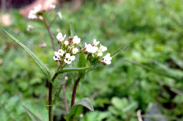 Shepherd's purse - Capsella bursa-pastoris is a fairly inconspicuous member of the cabbage family with rather small white flowers. It becomes much more recognisable when the seed pods emerge which are heart shaped and give the flower it's common and latin name. The species name is bursa-pastoris which translates as purse-shephard.
