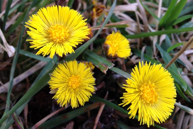Colt's-foot - Tussilago farfara is another member of the daisy family but is quite distinct from the dandelion. The flowers emerge long before the leaves, with scaly flower stems rising from the bare earth with bright yellow flowers above them. The leaves, large broad kidney-shaped leaves emerging later into the year.