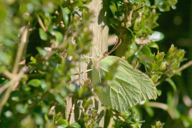 Brimstone  (Gonepteryx rhamni) pretending to be a leaf