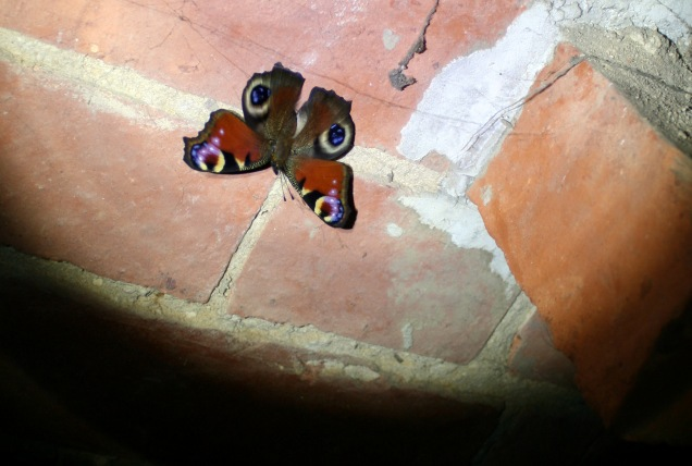 A peacock butterfly seeking out a dark place to hibernate.
