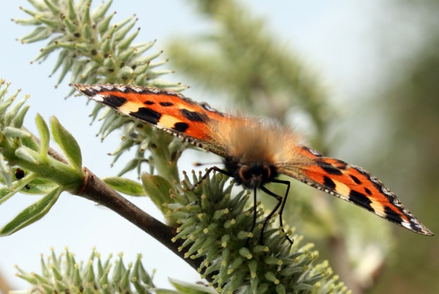Small tortoiseshell butterfly on female willow flower