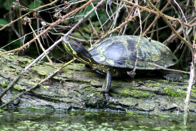 Red eared terrpin in British canal - Grantham Canal, Lincolnshire, UK