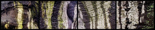 Rain patterns on beech bark