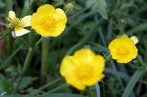 Creeping buttercup (Ranunculus repens)