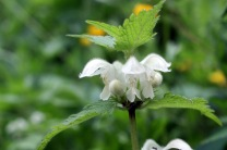 White dead nettle (Lamium album)