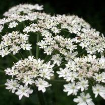 Hogweed (Heracleum sphondylium)