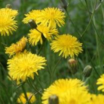 Dandelion (Taraxacum officinale agg.)