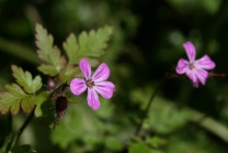 Her Robert (Geranium robertianum)